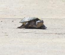 A snapping turtle at Great Meadows National Wildlife Refuge in Concord, photographed by Steve Forman.
