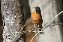 An American robin at Assabet River National Wildlife Refuge in Maynard, photographed by Craig Smith.