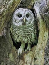 A barred owl in Acton, photographed by Steve Forman.