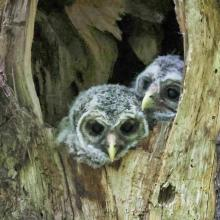 Barred owls in Acton, photographed by Steve Forman.