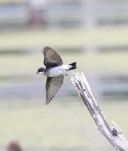 An eastern kingbird at Bolton Wildlife Management Area, photographed by Steve Forman.