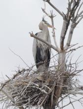 A great blue heron at Bolton Wildlife Management Area, photographed by Steve Forman.