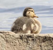 A mallard duckling at Hager Pond in Marlborough, photographed by Steve Forman.