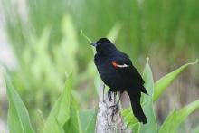 A red-winged blackbird at Assabet River National Wildlife Refuge in Maynard, photographed by Craig Smith.