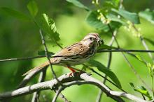 A song sparrow at Assabet River National Wildlife Refuge in Sudbury, photographed by Craig Smith.