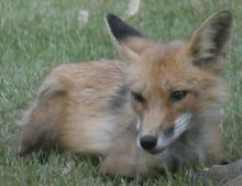 A red fox in Sudbury, photographed by Sharon Tentarelli.