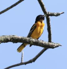 A Baltimore oriole at Breakneck Hill Conservation Land in Southborough, photographed by Steve Forman.