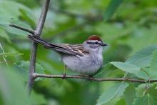 A chipping sparrow at SVT's Memorial Forest in Sudbury, photographed by Craig Smith.