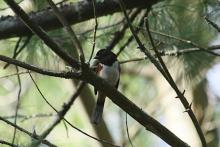 An eastern towhee at SVT's Memorial Forest in Sudbury, photographed by Craig Smith.
