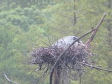 A great blue heron at a nest in Lincoln, photographed by Rachel Stein.