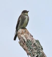 An olive-sided flycatcher at Breakneck Hill Conservation Land in Southborough, photographed by Steve Forman.