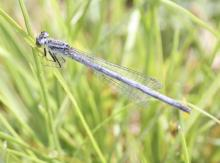 An eastern forktail damselfly at Grist Mill Pond in Sudbury, photographed by Steve Forman.