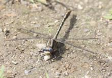 A lancet clubtail dragonfly at Grist Mill Pond in Sudbury, photographed by Steve Forman.