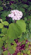 Maple-leaf viburnum at the Wayside Inn in Sudbury, photographed by Nathalie Guerin.
