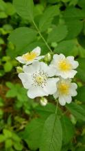 Multiflora rose at the Wayside Inn in Sudbury, photographed by Nathalie Guerin.