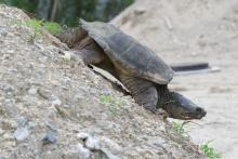 A snapping turtle in Stow, photographed by Gail Sartori.