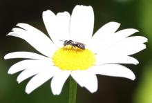 A bee on a daisy at Waseeka Wildlife Sanctuary in Hopkinton, photographed by Steve Forman.