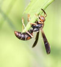 A dark paper wasp at Breakneck Hill Conservation Land in Southborough, photographed by Steve Forman.