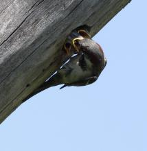 A house sparrow feeding chicks at Breakneck Hill Conservation Land in Southborough, photographed by Steve Forman.