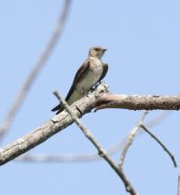 A northern rough-winged swallow at Breakneck Hill Conservation Land in Southborough, photographed by Steve Forman.