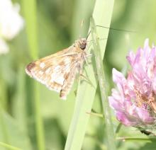 A skipper at Breakneck Hill Conservation Land in Southborough, photographed by Steve Forman.