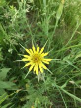 A yellow salsify flower at SVT's Cedar Hill in Northborough, photographed by Laura Mattei.