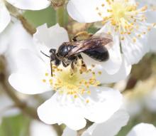 A bee at Breakneck Hill Conservation Land in Southborough, photographed by Steve Forman.