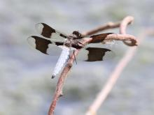 A common whitetail dragonfly at Hager Pond in Marlborough, photographed by Steve Forman.
