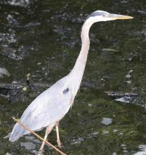 A great blue heron at the Grist Mill Pond in Sudbury, photographed by Steve Forman.