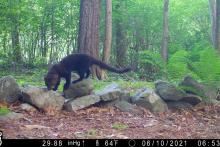 A fisher in Framingham, photographed with an automatically triggered wildlife camera by Margaret McKane.
