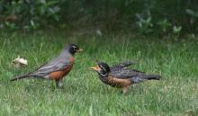 American robins in Northborough, photographed by Cynthia Burns.