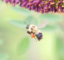 A bumble bee at Great Meadows in Concord, photographed by Steve Forman.