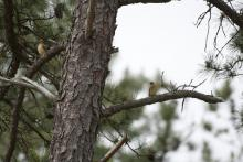 Cedar waxwings at SVT's Memorial Forest in Sudbury, photographed by Gail Sartori.