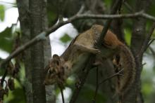 An eastern chipmunk at SVT's Memorial Forest in Sudbury, photographed by Gail Sartori.