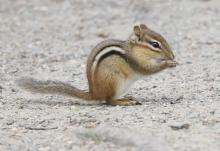 An eastern chipmunk at Great Meadows in Concord, photographed by Steve Forman.