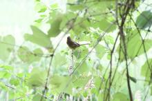 An eastern towhee at SVT's Memorial Forest in Sudbury, photographed by Gail Sartori.