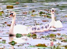 A family of mute swans at Great Meadows in Concord, photographed by Steve Forman.