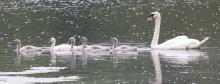 A family of mute swans at Hager Pond in Marlborough, photographed by Steve Forman.