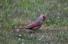 A northern cardinal in Northborough, photographed by Cynthia Burns.