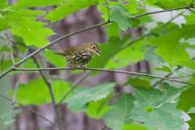 An ovenbird at SVT's Memorial Forest in Sudbury, photographed by Gail Sartori.