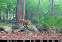 A red fox in Framingham, photographed with an automatically triggered wildlife camera by Margaret McKane.