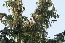 Red-tailed hawks in Maynard, photographed by Gail Sartori.