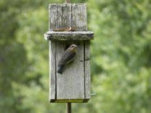 An eastern bluebird at Greenways Conservation Area in Wayland, photographed by Shelley Trucksis.