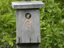 A tree swallow at Greenways Conservation Area in Wayland, photographed by Shelley Trucksis.