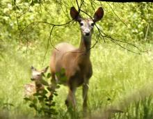 White-tailed deer at Greenways Conservation Area in Wayland, photographed by Shelley Trucksis.