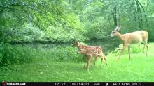 A doe and fawns in Stow, photographed with an automatically triggered wildlife camera by Tom Porcher.