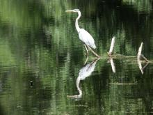 A great blue heron at Reeves Hill in Wayland, photographed by Shelley Trucksis.