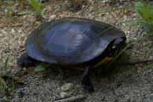 A painted turtle in Stow, photographed by Gail Sartori.