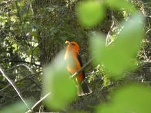 A scarlet tanager at Reeves Hill in Wayland, photographed by Shelley Trucksis.