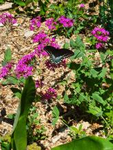A spicebush swallowtail in Northborough, photographed by Marnie Frankian.
